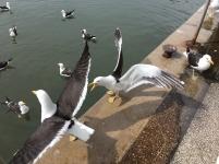 Porto (gaivotas)